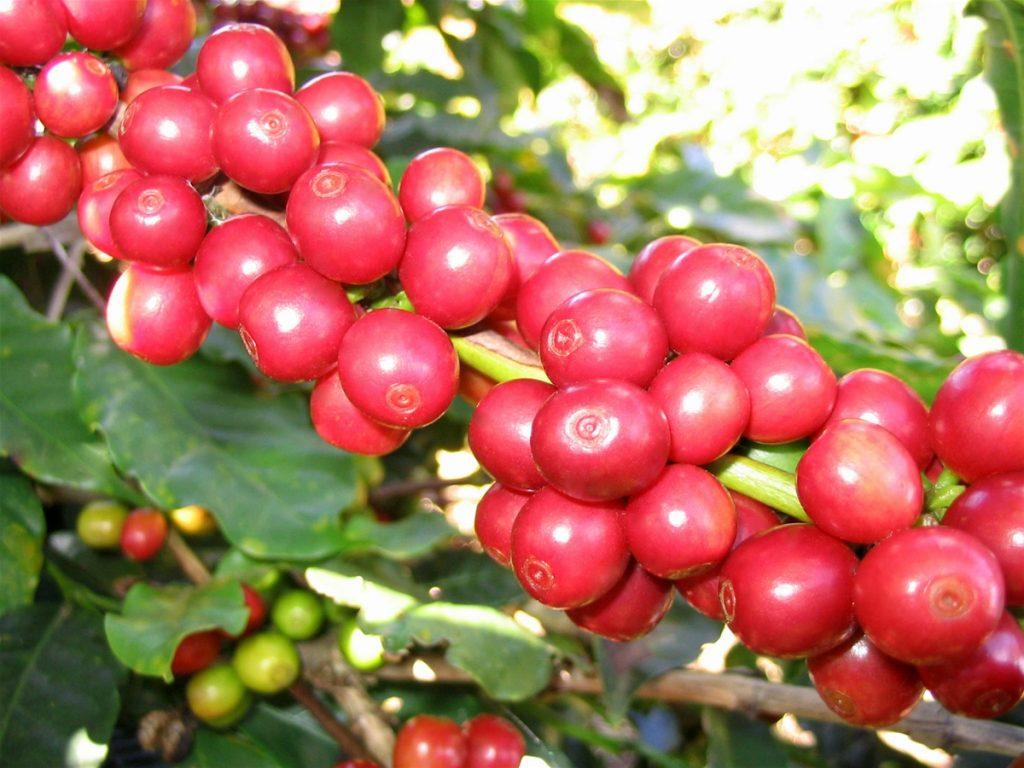 Nữ hoàng của các loại cà phê - Moka Cầu Đất