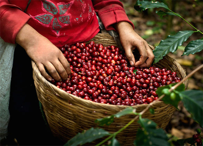 nguồn nguyên liệu cafe chất lượng của 90S Coffee