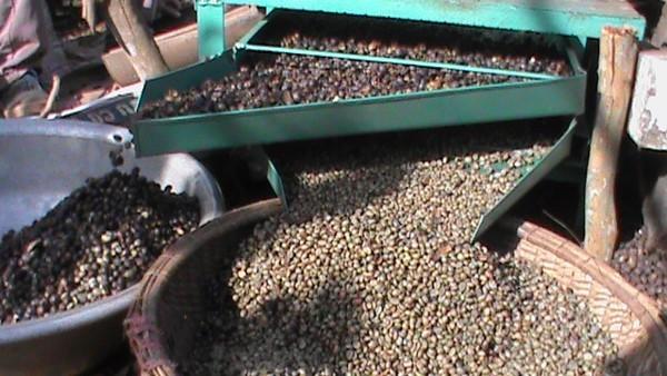 Hạt cafe sau khi được quạt để tách hạt riêng