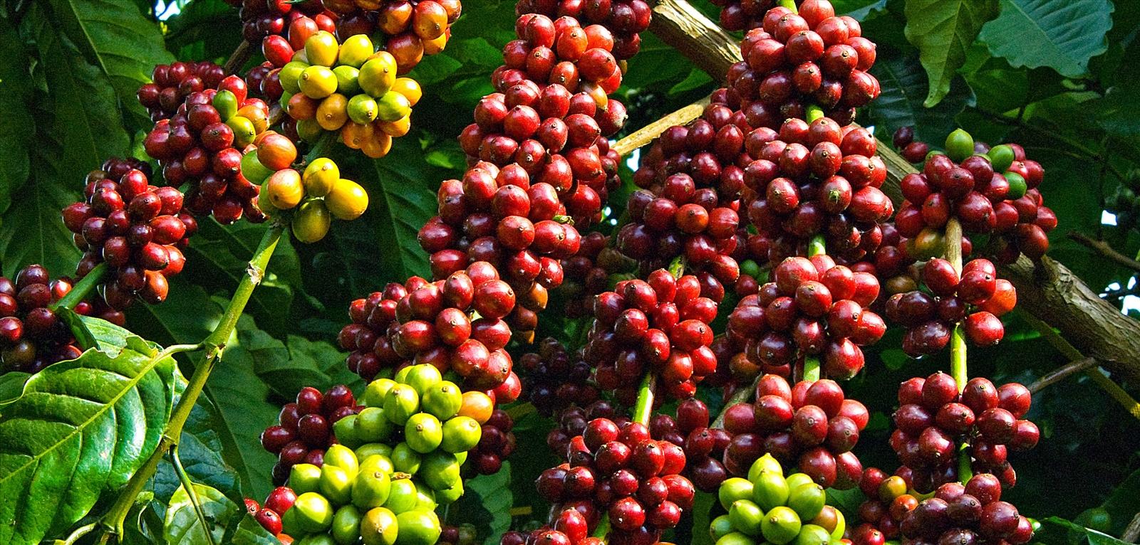 Hạt cà phê tươi, đã chín và chuyển sang màu đỏ thẫm