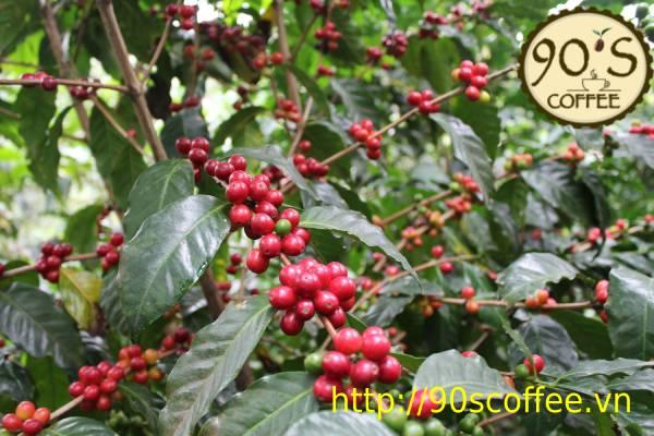 Dac diem cay cafe Typica o mot so khu vuc.